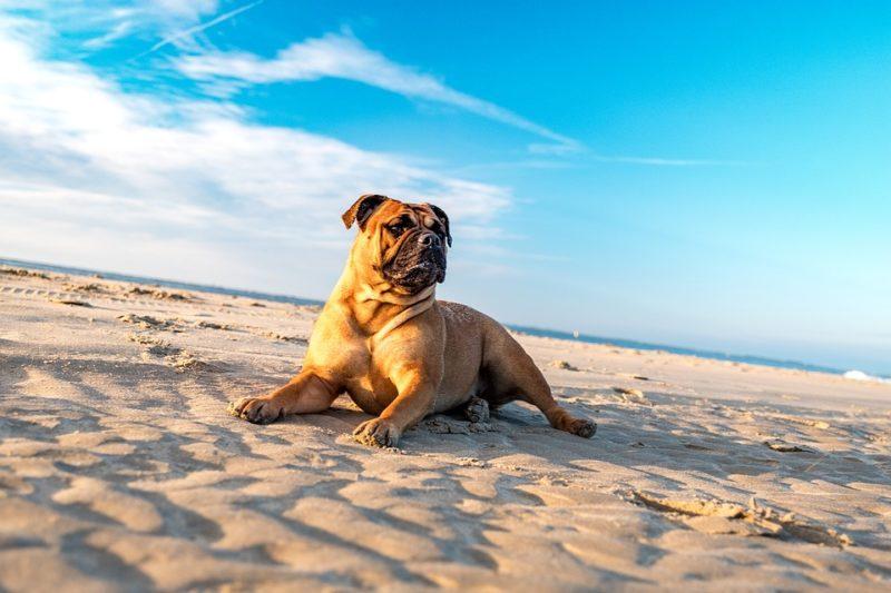 bulldog on the beach