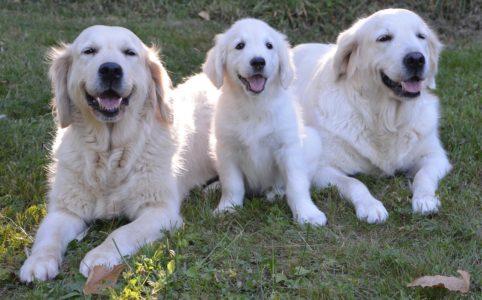 three golden retrievers